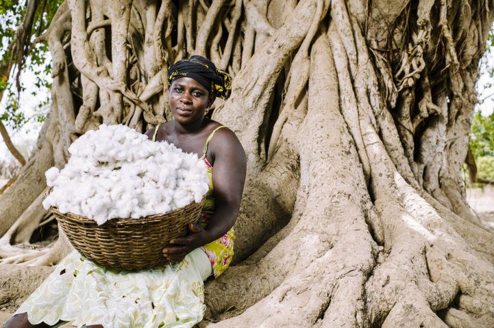 freshly harvested cotton