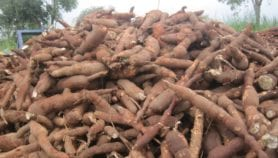 Cassava genome mapped to help boost its qualities