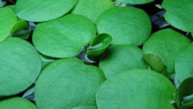 Dangerous waterweed spreading in Southern Africa