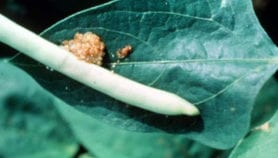 Pod borer-resistant GM cowpea 'to be ready by 2017'