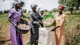 Improved cowpea in the offing for Ghanaian smallholders