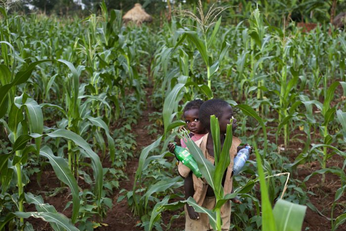 oy carries a toddler on his back as they walk in a field of maize plants