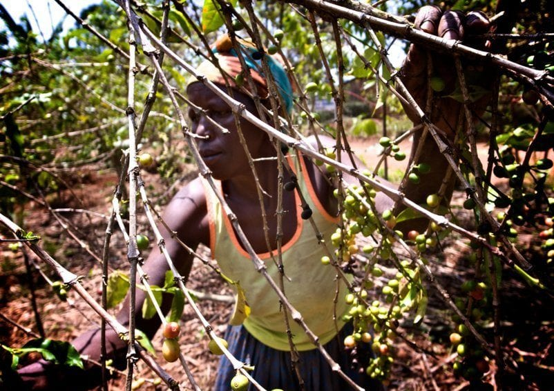 Picking coffee cherry in Bugesera district