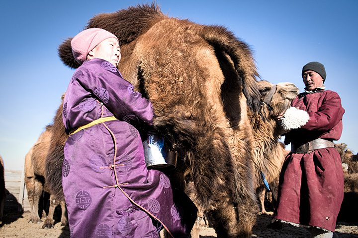 Men and women work together to milk a camel in Mongolia. Livestock farming is a family effort. Since the structured community was formed as a response to increasingly harsh winters, families have helped each other, for example in hay making and preparing for winter.