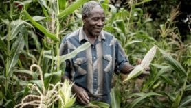 Drought-tolerant maize improves yields in 13 countries