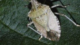 Stink bug could boost health and nutrition in Africa