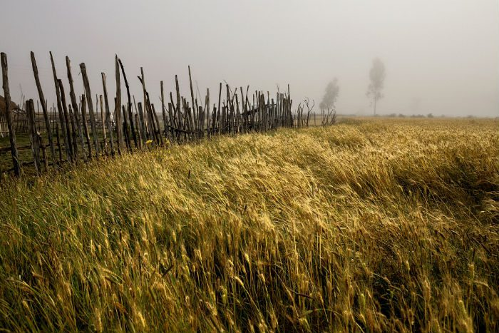 Wheat growing on small holder farms.