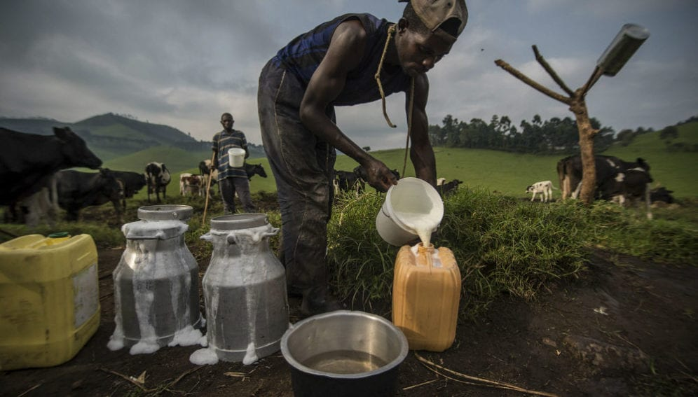 Workers at a dairy facility pour fresh milk