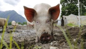 The scourge of antibiotics in animal feed