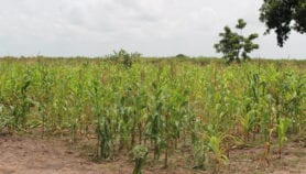 Maize gene could lure natural enemies of crop pests