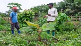 Tracking tool makes light work of banana breeding
