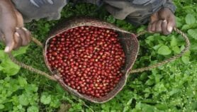 'Rediscovered' coffee could boost farmers' livelihoods