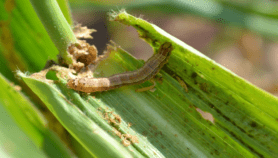 Invasive bugs, plants 'cost more' than Africa's GDP