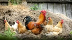 Climate-resilience of rural chicken is in the genes