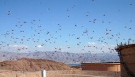 New locust swarms to attack East Africa