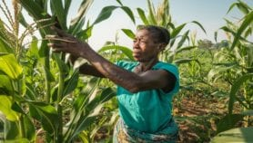 Fall armyworm 'worsens hunger among smallholders'