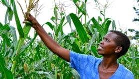 Tool forecasts maize yields six weeks before harvest