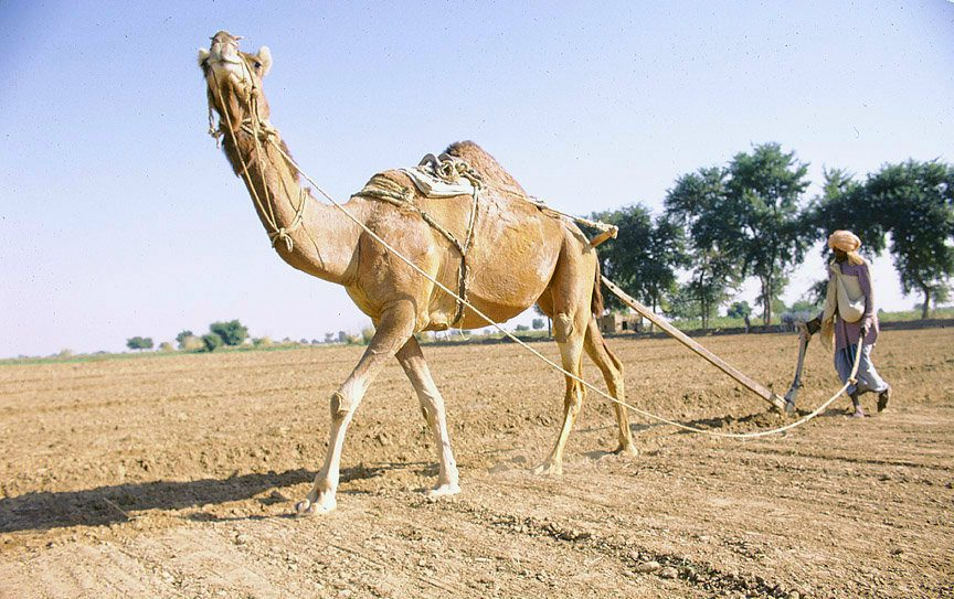 Camel Ploughing_Flickr_Ray Witlin_World Bank.jpg
