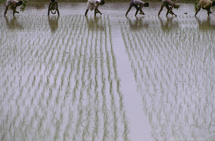 rice agriculture