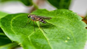 Invasive weed could fuel malaria transmission